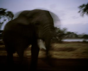 elephant, dusk, ewaso nyiro river, northern kenya-from the series 'with butterflies and warriors'-David Chancellor
