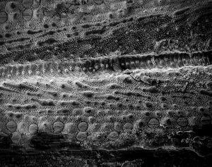 Horsetail Stomata