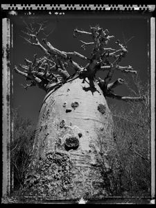 Baobab 28 Madagascar 2010 © Elaine Ling