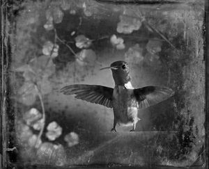 © Dianne Yudelson Ruby-Throated Hummingbird