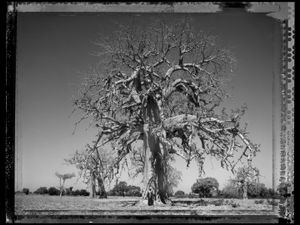Baobab 03 Mali 2008 © Elaine Ling
