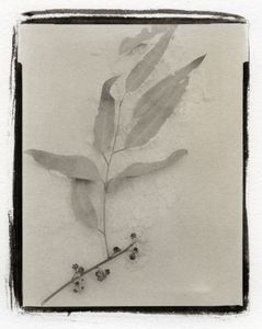 Botanical Specimen with Salt (Eucalyptus) © Claire A. Warden