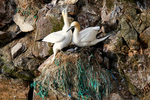 The nest of Northern Gannets (Sula Bassana), on the cliffs of Hermaness, composed of discarded fishing rope. Northern Gannet numbers have increased as the birds have adapted to the human fishing industry. They use rope from nets for nesting and will feed on surplus fish thrown back from the fishing boats. The 100 islands of the Shetlands support 23,000 people and a million sea birds. The islands a