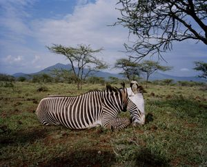 grevy zebra, le parua conservancy, northern kenya-from the series 'with butterflies and warriors'-David Chancellor
