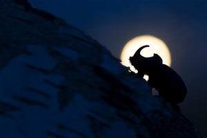 Four centimeters of mightiness that moves slowly and relentlessly on a tree, while the moon rises on the background. The rhinoceros beetle is a nocturnal insect: during the day they stay safe under the cortex of the trees and with the summer, they become very active, flying at dusk to find a mate.