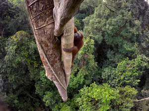 A Bornean orangutan climbs over 30 meters up a tree in the rain forest of Gunung Palung National Park, West Kalimantan, Indonesia, 12 August 2015.