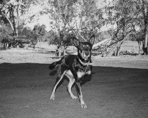 Geoffrey's dog, Marlee Downs, Mitchell, QLD Australia, 2015.