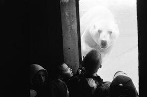Polar Bear at the Zoo - Canada