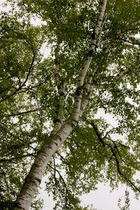 Birch 5