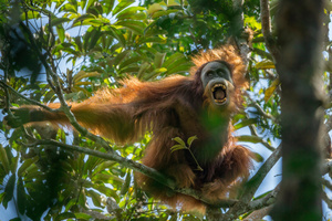 A Sumatran orangutan threatens another nearby male in the Batang Toru Forest, North Sumatra Province, Indonesia,17 March 2014.