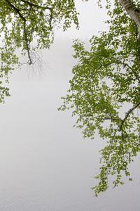 Birch 8