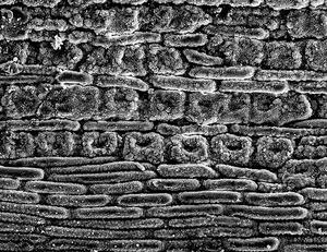 Douglas fir Stomata