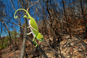 A juvenile Furcifer balteatus in a recently burned landscape. Fires are often deadly for chameleons, because they can't move fast enough to escape them. The common practice of burning the landscape at the end of every dry season has affected many species of chameleons, both directly via fatalities due to burning and indirectly due to habitat loss; Ranomafana National Park, Madagascar, 16 Nov. 2015