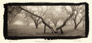 Old tree split from a heavy crop, Manteca, CA, 2002. © Chris McCaw