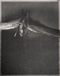 Desert Locust, Schistocerca gregaria 1