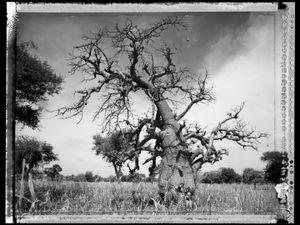 Baobab 02 Mali 2008 © Elaine Ling