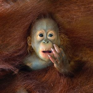 A baby Orangutang peeking out from his mother's embrace © Chin Boon Leng, Singapore. Shortlist, Nature & Wildlife, Open Competition. 2014 Sony World Photography Awards
