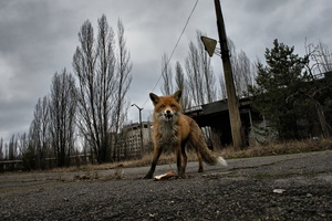 the radioactive fox, Pripyat.