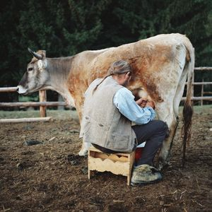 Attila milking a cow, Carpathians, Romania, 2013 © Antoine Bruy