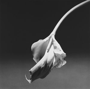 Calla Lily, 1986 © Robert Mapplethorpe Foundation. Used by permission