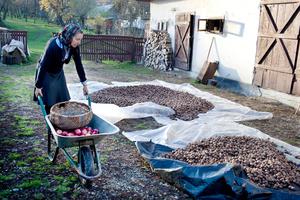 Drying Walnuts