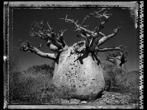 Baobab 25 Madagascar 2010 © Elaine Ling
