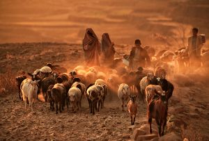 Thula, Yemen: At sunset the shepherds lead their sheep and goats home. © Matjaz Krivic