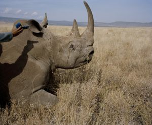white rhino # II, lewa conservancy, northern kenya-from the series 'with butterflies and warriors'-David Chancellor
