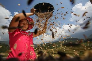 Rice in Sa Pa