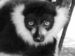 The old wise Lemur