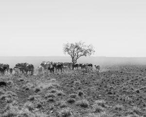 Lonely Tree, Alderley Station, Boulia, QLD Australia, 2015.