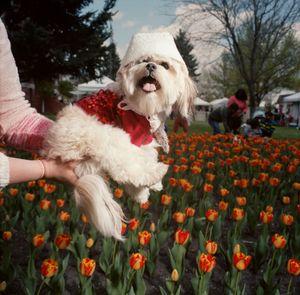 Dog in a Bonnet, Tulip Festival, Orange City, Iowa, 2014