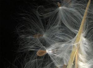 Milkweed pod detail