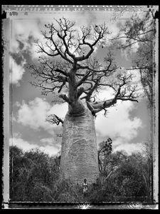 Baobab 30 Madagascar 2010 © Elaine Ling