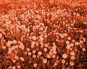 Son magnifique champ de fleurs. Her beautiful field of flowers. © David Favrod