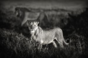 """""""Lions of the Mara."""" A lioness and the pride leader in the background are moving through the Musiara area of Masai mara, Kenya on an early morning."""