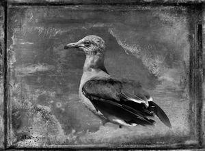 © Dianne Yudelson Heerman's Gull