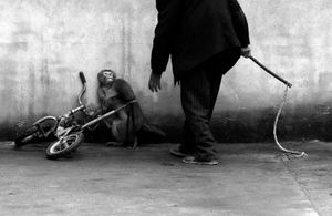 Monkey being trained for circus, Suzhou, Anhui Province, China. Nature Singles, 1st place. Yongzhi Chu, China.
