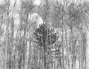 Young Pine in Birches, 1954; gelatin silver print; collection San Francisco Museum of Modern Art. Accessions Committee Fund purchase; © John Szarkowski (Plate # 7)