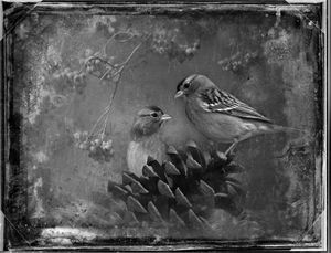 © Dianne Yudelson Chipping Sparrows