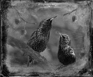© Dianne Yudelson Starlings