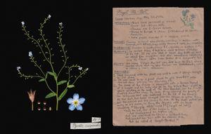 Family: Boraginaceae. (Myosotis scorpioides) Forget-Me-Not
