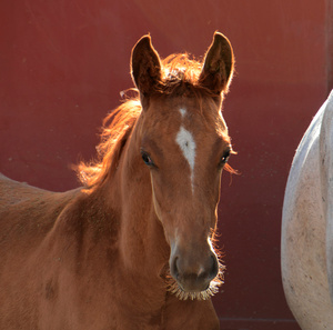 baby Mustang