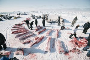 Division of whale meat and blubber is governed by tradition and followed strictly by whaling crews. Here, the niñit, or community shares, are equally apportioned. The successful crew's share will be given away at Nalukataq, the summer whaling festival.