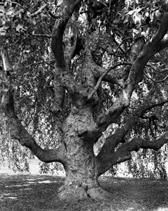 Weeping Beech, Brooklyn Botanical Gardens © Mitch Epstein, part of the Prix Pictet retrospective