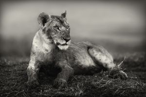 """""""Young Lion."""" A young member of the Musiara pride of lions in Masai mara, Kenya is resting on a hill after feeding and participating in the kill of a buffalo."""