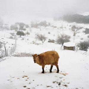 Three legged goat, Sierra de Cazorla, Spain, 2013 © Antoine Bruy