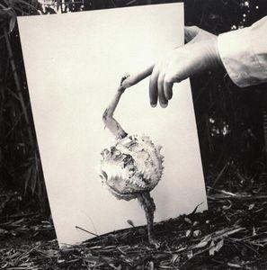 Fauna series, Alopex Stultus, 1986, Selenium toned gelatin silver print, 50 x 40 cm © Joan Fontcuberta