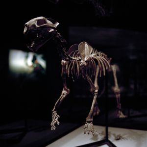 The skeleton of a Dinictis (sabertooth) housed at the Burke Museum of Natural History, Seattle