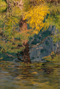 Tree, Merced River, Yosemite National Park, California